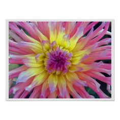 Pink and Yellow Dahlia Print / Poster - A pink and yellow dahlia. Colorful floral nature photography, taken August 2009 in Corralitos, California.