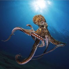 My Octopus Dad. I'd like to be under the sea in an…   by Erica Rhodes   Oct, 2020   Medium Octopus Drawing, Octopus Art, Octopus Photography, Animal Photography, Underwater Creatures, Ocean Creatures, Beautiful Sea Creatures, Animals Beautiful, Tattoo Mar