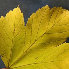 The veins of the leaf #fallfoliage #leaves #nature #botanical #natureporn #gardenlife #yellowleaves #yellow #yourshot #closeup #macro #closeupfans#dof_addicts #outdoor plants#pictorial#artistic#instanaturelovers #instanature #striking#veins #vessels#naturephotography #naturephotographer #observer #experience