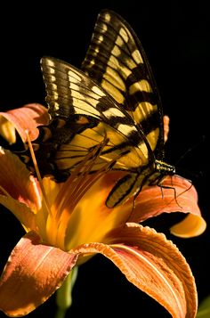 Eastern Tiger Swallowtail butterfly is climbing out a daylilly.