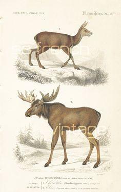 1861 Elan Orbigny Planche Originale Couleurs animaux faune Amérique du Nord Grand Nord Maison decor