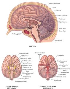 Brain and Spinal Cord Anatomy. From the Merck Manual Home HealthBook.