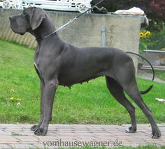 I want another Great Dane and I want a Blue one! Gorgeous!
