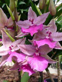 Intergeneric Oncidium Orchid