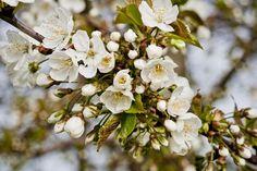 'Spring - Cherry Blossom No. 1' von Roland Hemmpel bei artflakes.com als Poster oder Kunstdruck $16.63