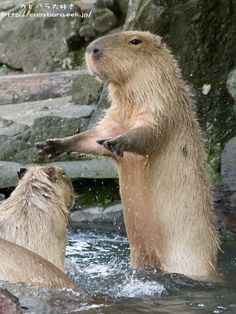 Silence everyone! For I am the King of Capybaras! We shall rule water!
