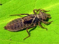 Dragonfly Larvae, Owl Pellets, Nymphs, Image Categories, Ponds, Insects, Water Feature