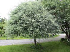 Trädgård i Torslanda: Silverpäron med kalufs