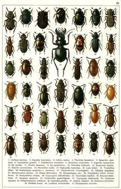 "G.G. Yakobson (1905-1915) - ""Beetles of Russia"": table 22"