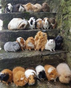 There are many different breeds of guinea pigs from long haired to shorter haired varieties. Here is ad Different Types of Guinea Pig Breeds. Guinea Pig House, Baby Guinea Pigs, Guinea Pig Care, Diy Guinea Pig Cage, Guinea Pig Hutch, Funny Animal Pictures, Cute Funny Animals, Cute Baby Animals, Animals And Pets