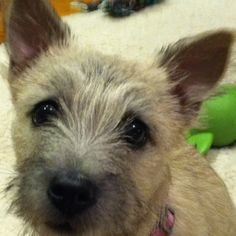cairn terrier, looks like my baby puppy at home