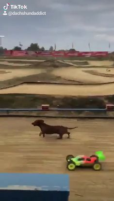 Cute Funny Dogs, Cute Funny Animals, Funny Dachshund Pictures, Cute Animal Videos, Cute Animal Pictures, Dachshund Puppies, Dachshunds, Funny Animal Jokes, Funny Dog Videos
