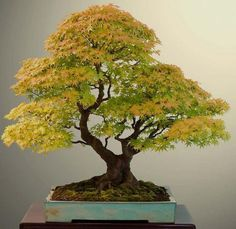 Growing bonsai from their seeds is essentially growing a tree from its seed. Get tips and guidelines on how to grow your first bonsai from its seed phase. Ikebana, Plantas Bonsai, Bonsai Acer, Japanese Maple Bonsai, Bonsai Maple Tree, Bonsai Styles, Acer Palmatum, Miniature Trees, Bonsai Garden