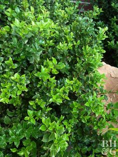 22 Best Plants for Hedges Tall Shrubs, Trees And Shrubs, Planting Shrubs, Planting Bulbs, Boxwood Landscaping, Landscaping Ideas, Backyard Landscaping, Backyard Ideas, Holly Shrub