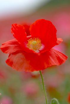 ~~poppy by yamabuki~~
