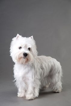 West Highland White Terrier size:small exercise: medium grooming: medium trainability: easy