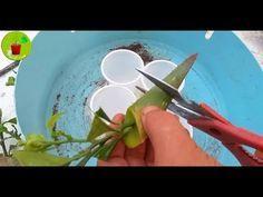 طريقة مبتكرة لزراعة الليمون Youtube Air Plants Agriculture Watering Globe
