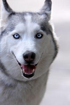 I will have a Husky!