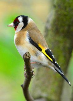 European Goldfinch (Carduelis carduelis) Черноголовый щегол
