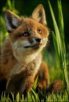 Pretty fox pup