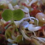 best sprouting results have been with garbanzo beans, wheat and rye berries, sunflower seeds and mung beans. cuisines. Soy and kidney bean sprouts are toxic and should be avoided. Sprouted lentils, black eyed beans, partridge peas, peanuts and vetch retain phytates which cause poor digestion and gas.