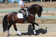 pre Horses for sale - Jabugo B |  Our horses for sale |  Yeguada la B