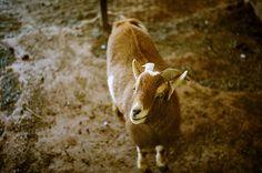 Cutest Goat in the World - http://www.1pic4u.com/blog/2014/09/10/cutest-goat-in-the-world/