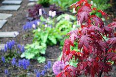 Japansk blodlönn, acer palmatum 'Atropurpureum'. Me like!