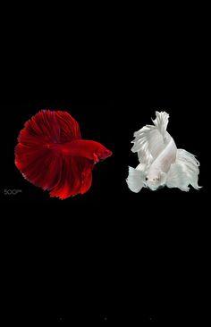 Foto Pretty Fish, Cute Fish, Beautiful Fish, Fish Wallpaper, Live Wallpaper Iphone, Beautiful Sea Creatures, Animals Beautiful, Oscar Fish, Betta Fish Types