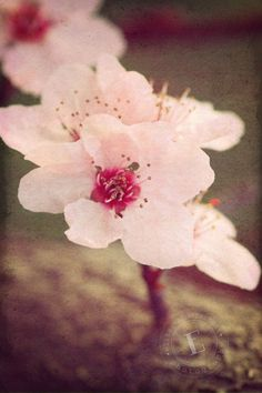 Cherry Blossoms, Photo from Picsity.com