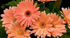 Gerbera Daisies house plant for air purification and sleep