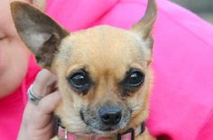 Petango.com – Meet Curry, a 5 years 1 month Chihuahua, Short Coat / Mix available for adoption in PAYSON, AZ