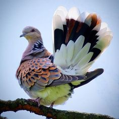European Turtle Dove! {I'd like such plumage}  Amazingness captured by @bass23 {please credit the photographer in reshares}