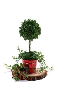 Ivy is one of the hardiest, easiest evergreens to grow.