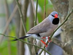 Long-tailed Finch (Poephila acuticauda) - a common species of estrildid finch found in Australia; also known as the Blackheart finch, shaft-tail finch, Heck's grassfinch, Heck's grass finch, and Heck's finch. It is a predominantly fawn-coloured bird with a pale grey head and prominent black bib and eyes.
