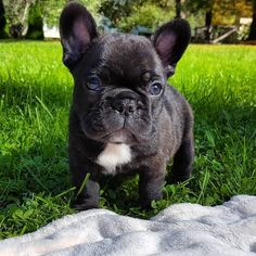 Sweet French Bulldog Puppy