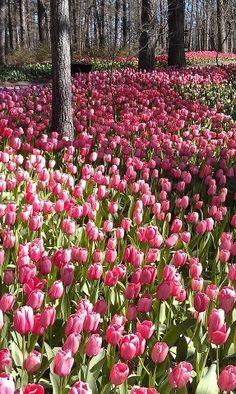 flowersgardenlove:  ✯ Tulips Forever Flowers Garden Love
