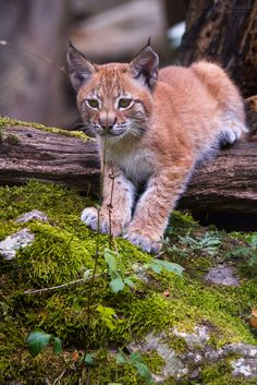Lynx cub by Cloudtail A picture from a li'l lynx, I've seen at Tierpark Hellabrunn in summer last year. http://flic.kr/p/CHjH7n