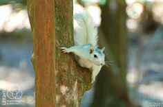White Fox Squirrel (Tallahassee, Florida). Photo: Leighton Photography and Imaging