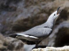 Gray Gull -  Leucophaeus modestus. By Adam Dewan.