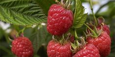 The crop at the right time decides on the crop of raspberries- O úrodě malin rozhoduje řez ve správný čas The crop at the right time decides on the crop of raspberries -