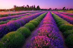 Purple Haze. Sequim, Washington  Wish we could have been there for lavender harvest