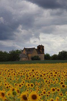 Sunflowers in Dordogne, France