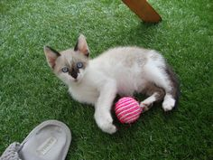 Cat - European - Indigo on www.yummypets.com