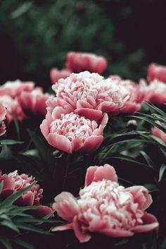 Sea of Peonies Beautiful gorgeous pretty flowers My Flower, Beautiful Flowers, Beautiful Gorgeous, Lotus Flower, Pink Peonies, Pink Flowers, Colorful Roses, Vintage Flowers, Planting Flowers