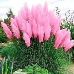 Αποτέλεσμα εικόνας για herbe de la pampa rose