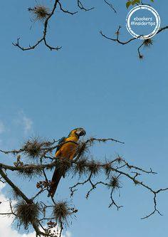 Papagei 'Guacamaya'
