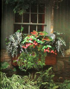 Polly African mask, Dragon Wing pink begonia, caladium, golden creeping jenny and Summer Wave amethyst wishbone flower look exotic and alluring in a rustic wooden window box.