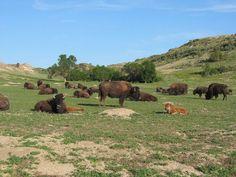 Oh give me a home, where the buffalo roam