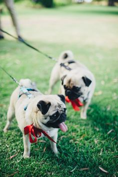 Wedding pugs with colour matched ribbon bows   iZO Photography   See more: http://theweddingplaybook.com/a-timeless-natural-wedding/
